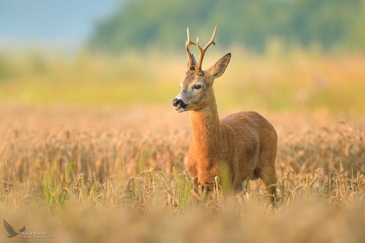 roe, animals, nature, wildlife, colors, meadow, sunrise, nikon, nikkor, lens, lubuskie, poland, Szozda Rafal