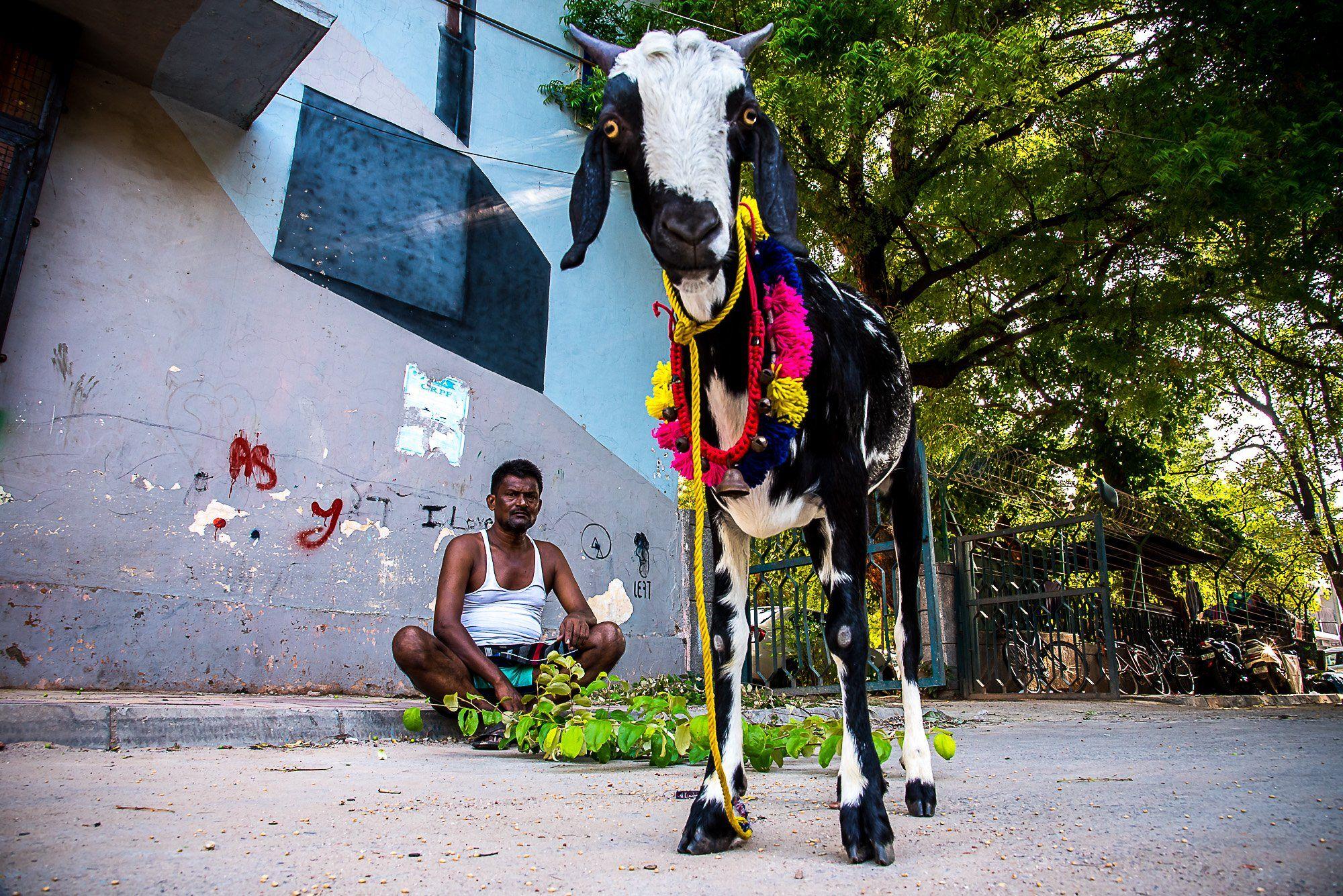 street photography goat frame city delhi , Chetan Verma