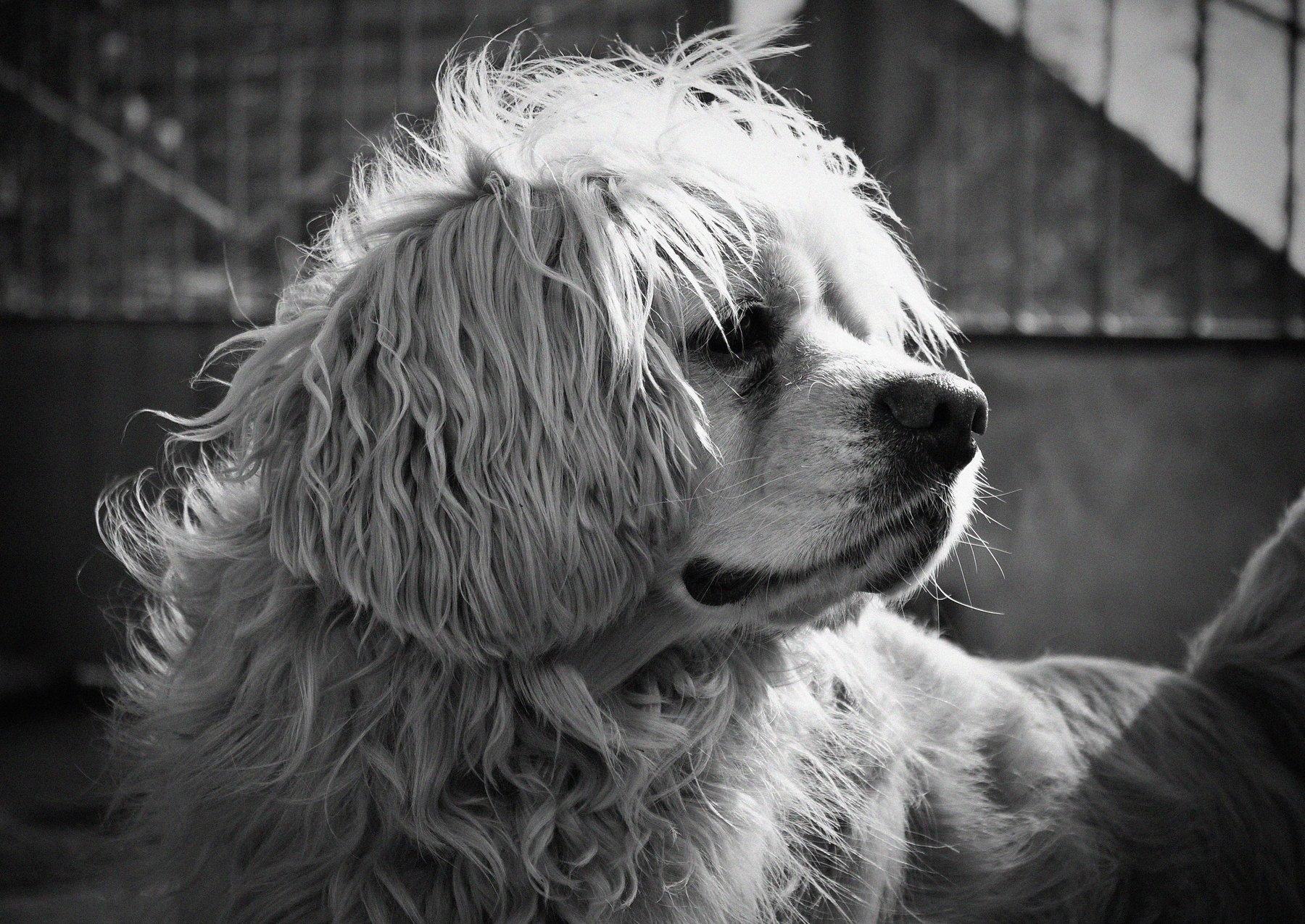 животное, пёс, собака, спаниель, собаки, Vladimir Kedrov