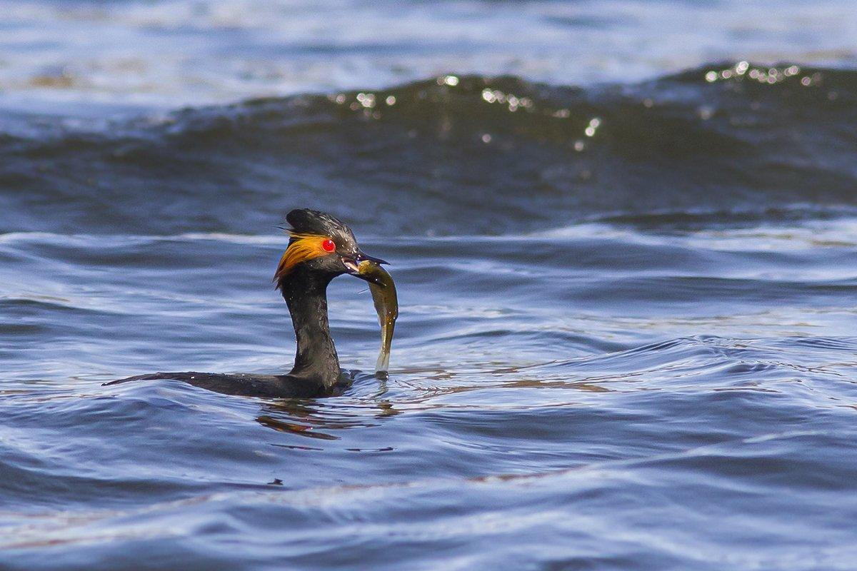 Черношейная поганка ловко ловит рыбу среди волн. Наталия Сытина.