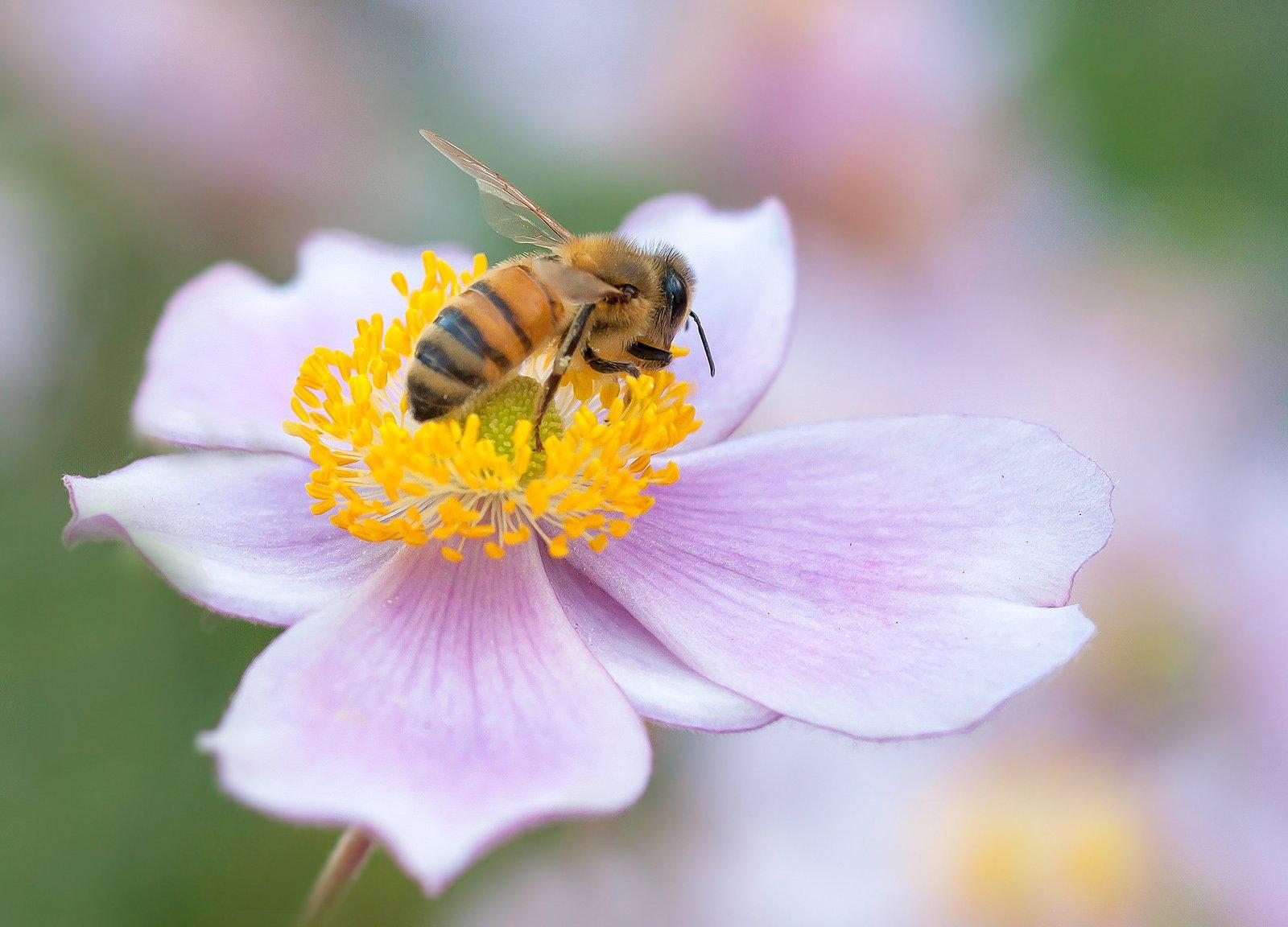 макро,цветы,анемоны,лепестки,лето,свет,желтый,розовый,тычинки,природа,растения,пчела,, Антонина Яновска