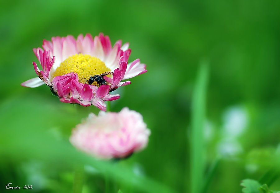 маргаритка, цветы, природа, весна, макро, етти