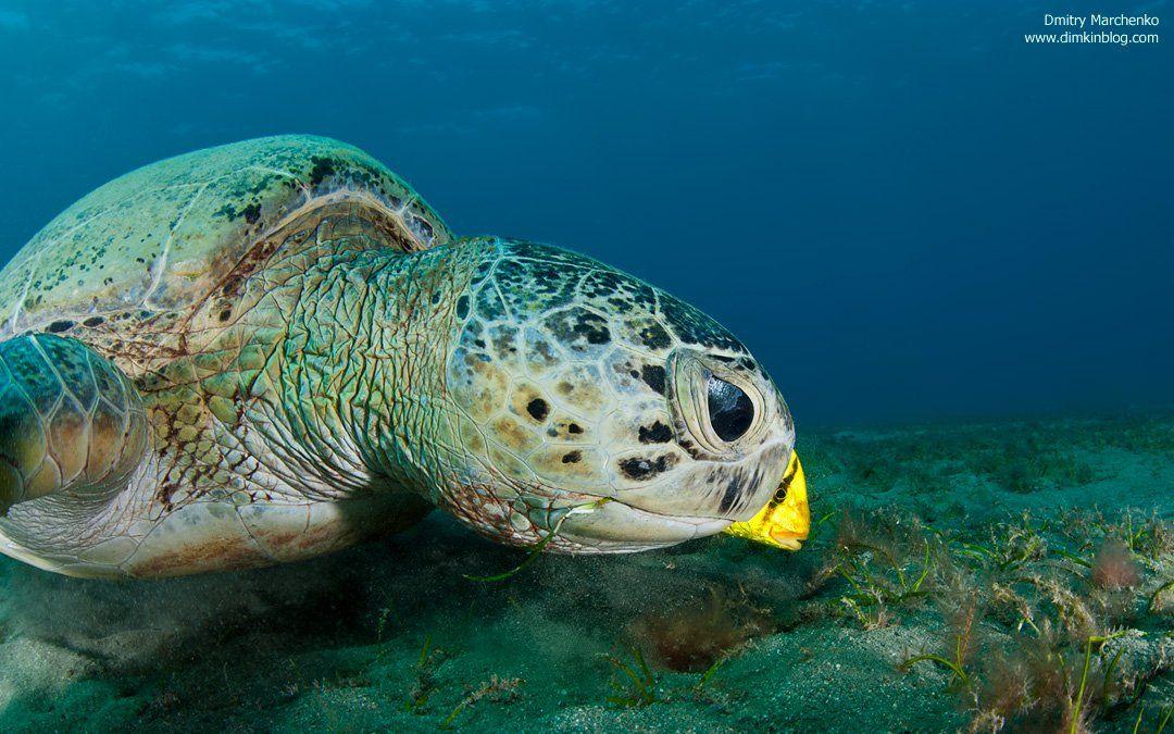черепаха, зеленая черепаха, turtle, underwater, Дмитрий