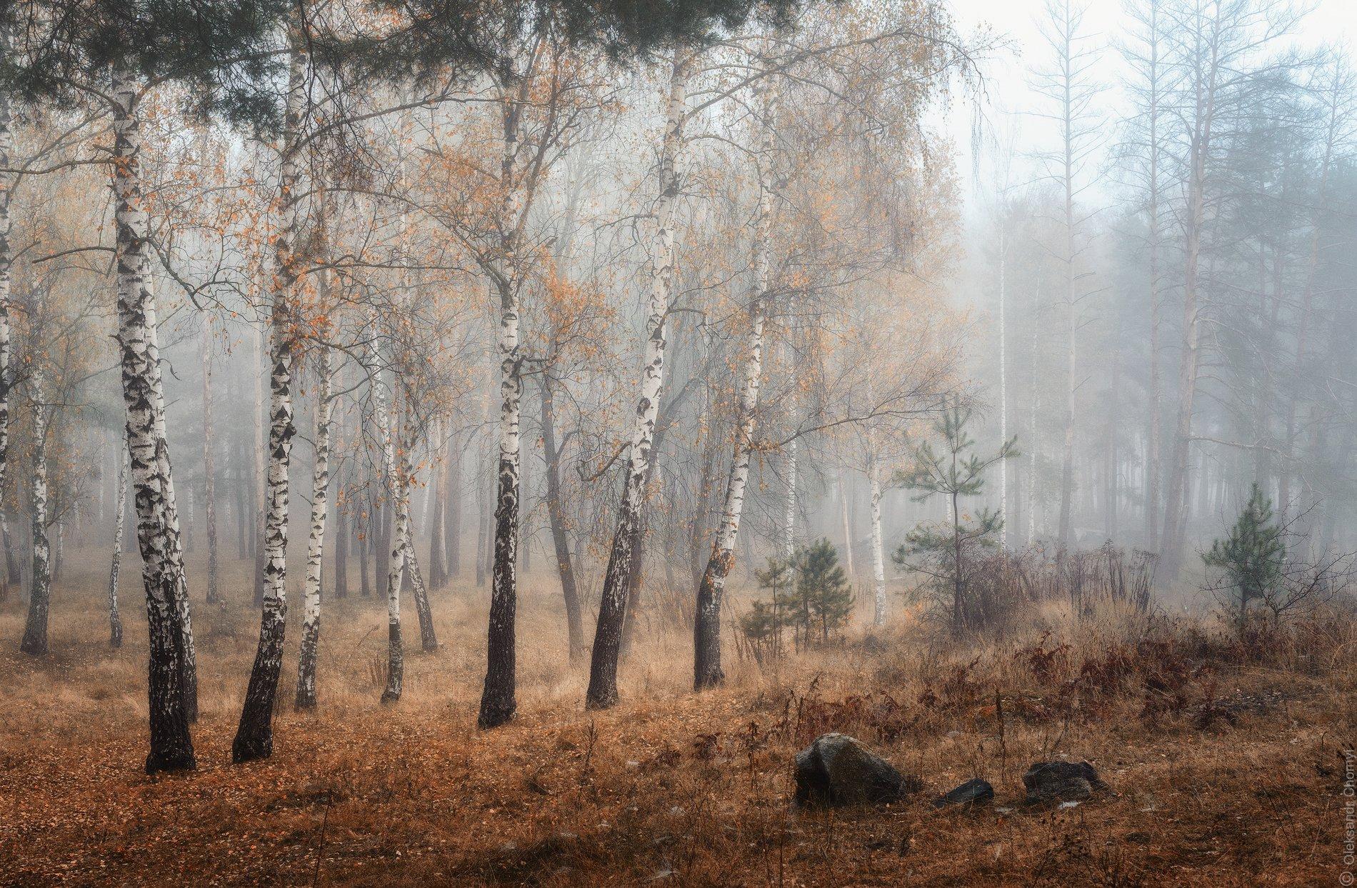 украина, коростышев, осень, утро, туман, волшебство, нежность, мягкость, октябрь, мелодия, природа, жизненность, березки, поэзия, чувства, прозрачность, жизнь, фотограф, чорный,, Александр Чорный