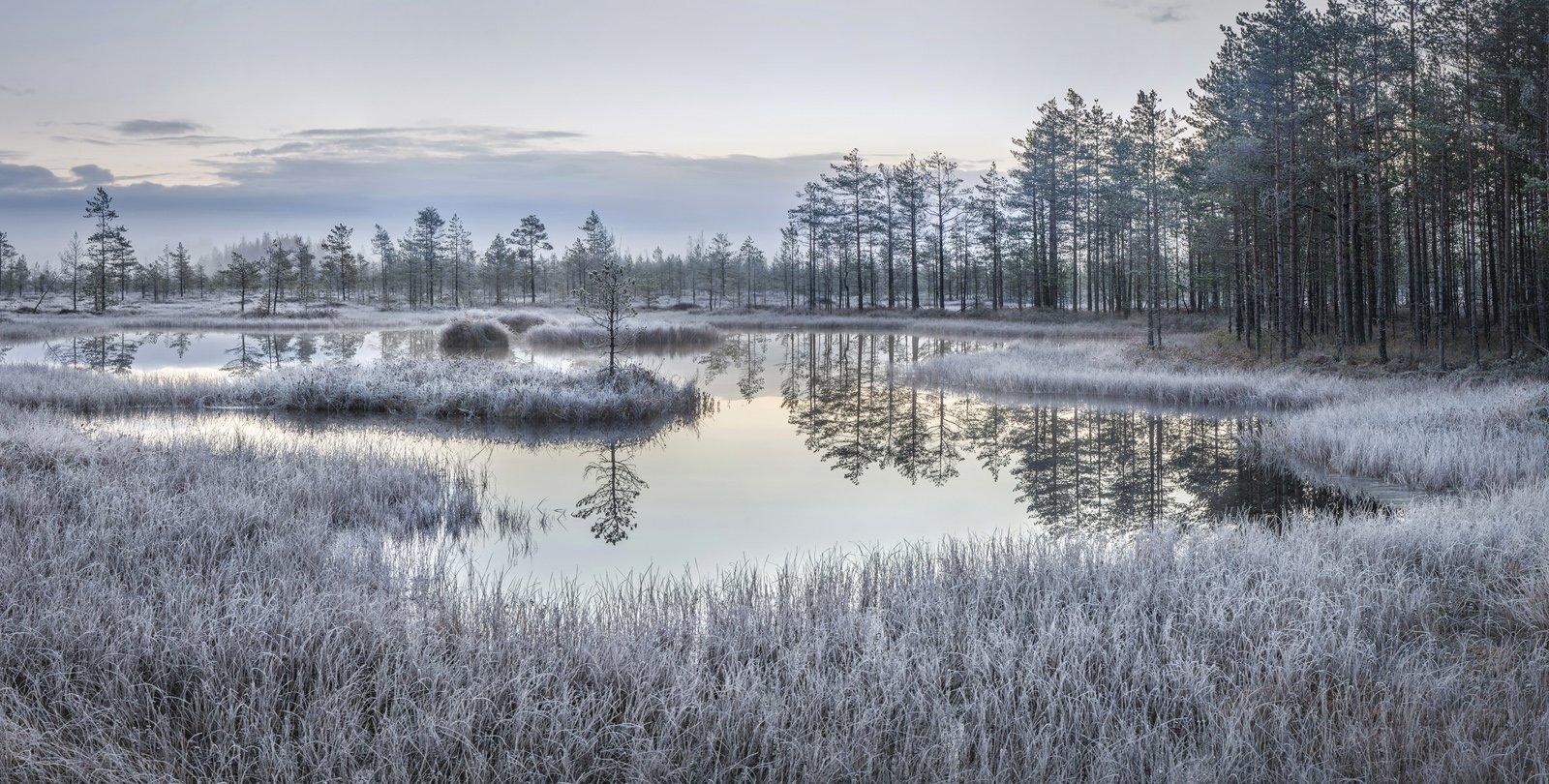 болото, ленинградская область, ленобласть, изморозь, ноябрь, Арсений Кашкаров