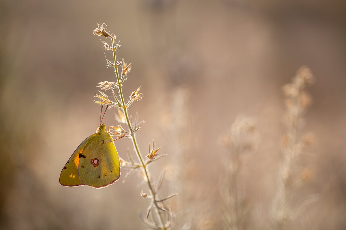 lepidoptera, canon, 100mm, l is, 5dmkii, Remus Moise