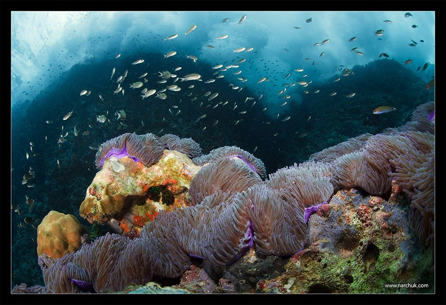прибой, таиланд, анемоны, скала, море, цвет, дайвинг, Нарчук Андрей