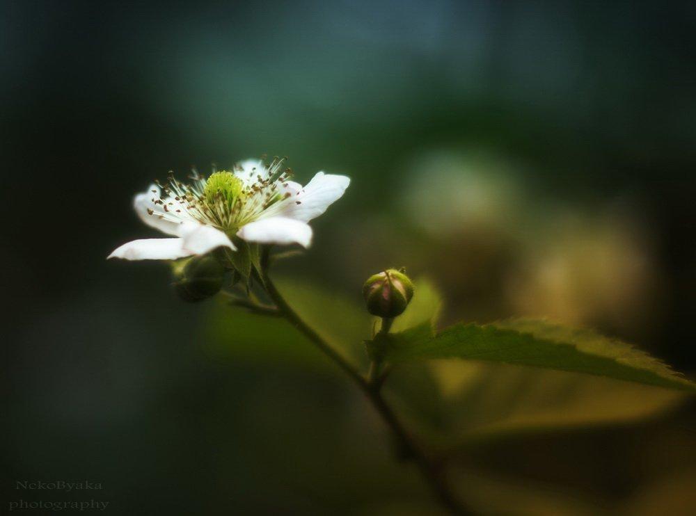 leaves, , flowers, , bud, , plants, , листья, , green, , blackberry, , бутон, , ежевика, Мамакова Анжелика
