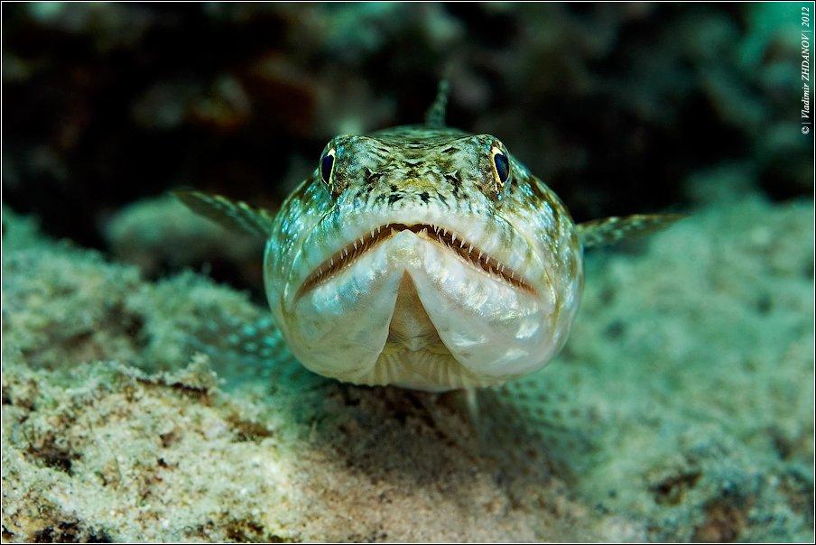 lizard, fish, ящероголов, ящерица, рыба, красное, море, египет, дахаб, подводная, съёмка, Владимир Жданов