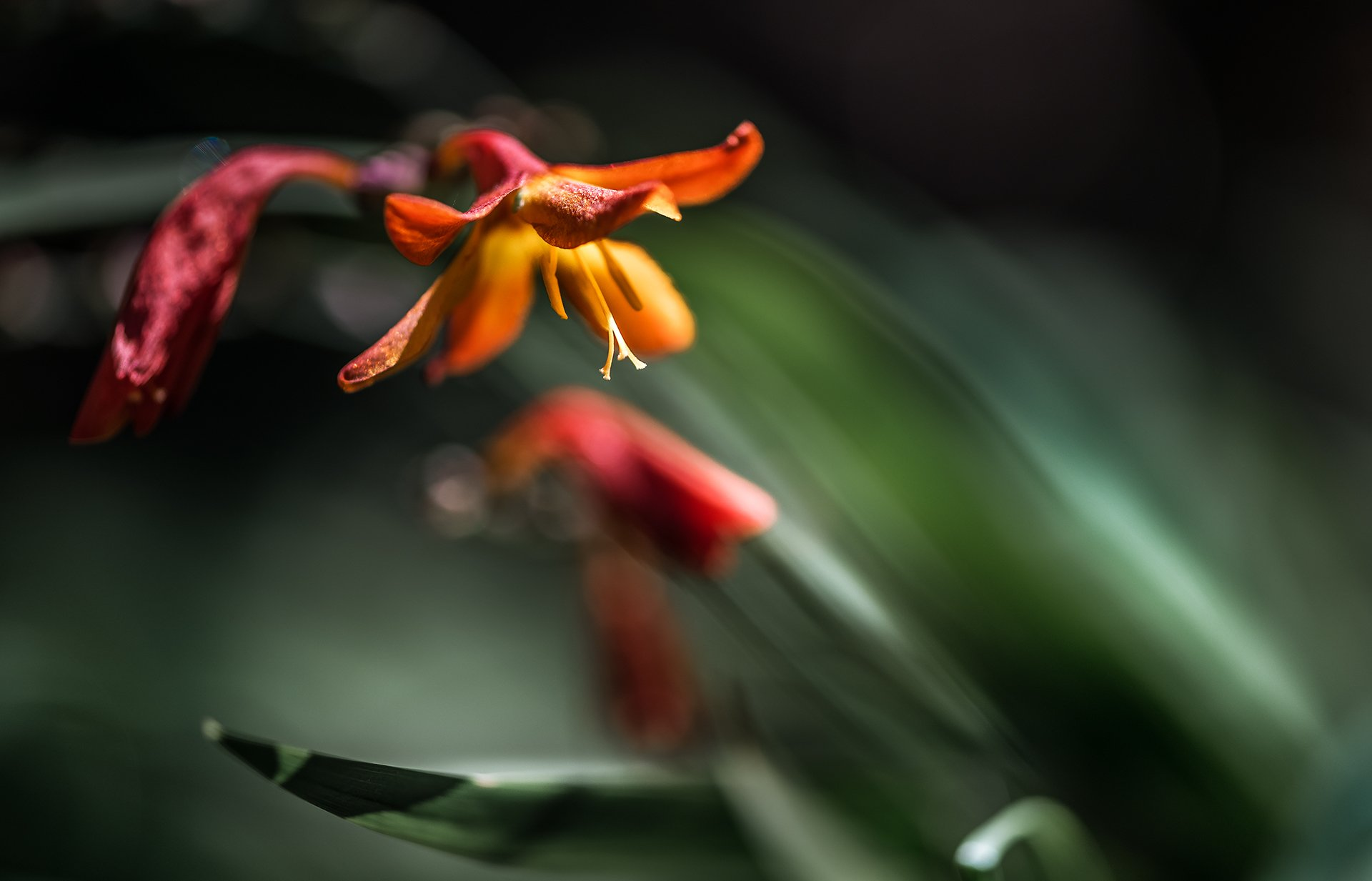 природа, макро, цветы, монтбреция, красный, черный, зеленый, Неля Рачкова