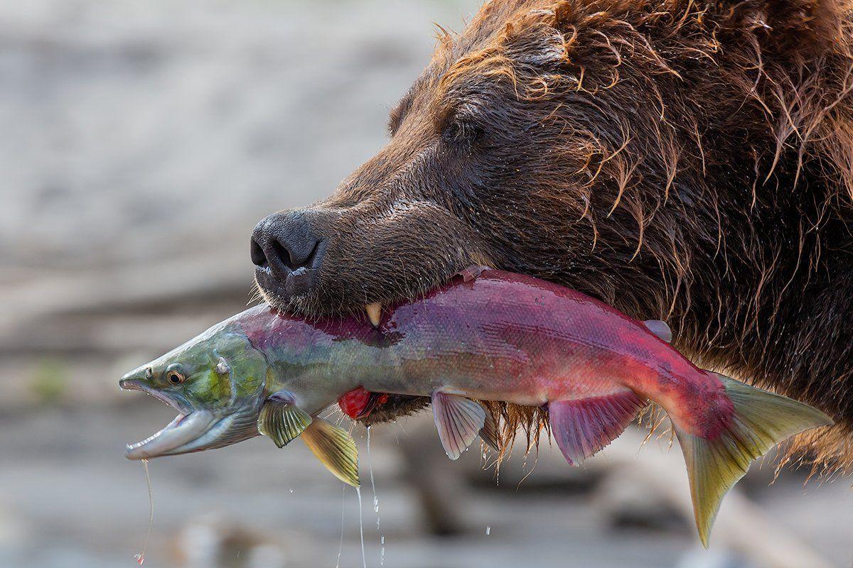 камчатка, медведь, природа, лосось, путешествие, фототур, озеро, животные, Денис Будьков