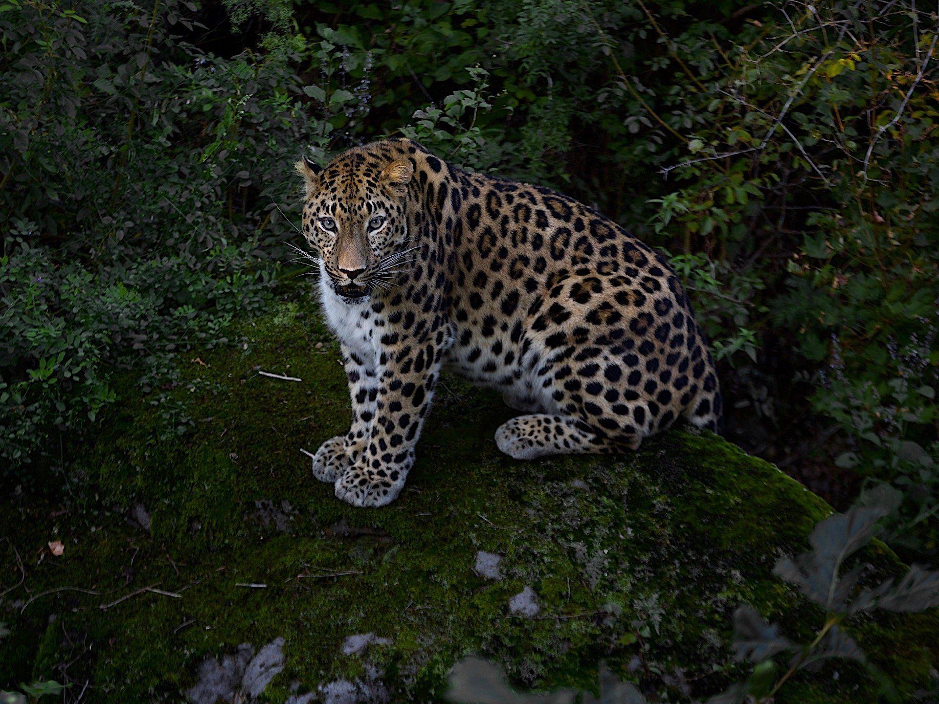 приморье,россия,амурский леопард,природа,скала, Мазурин Евгений