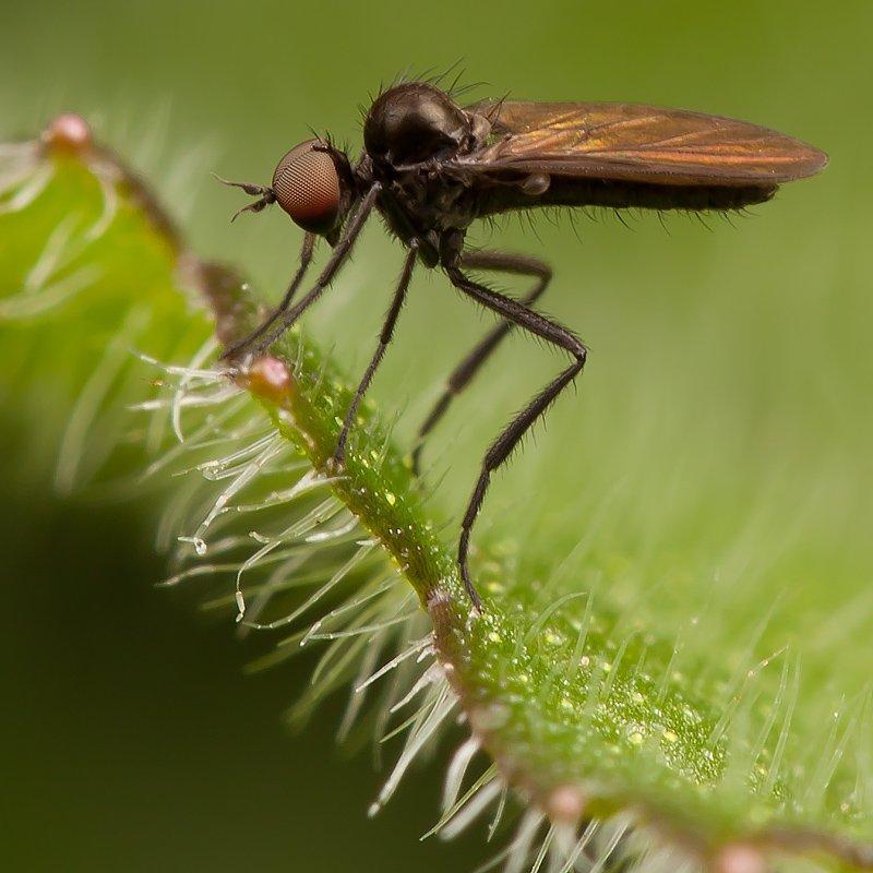 муха, маленькая, macro, Linas T