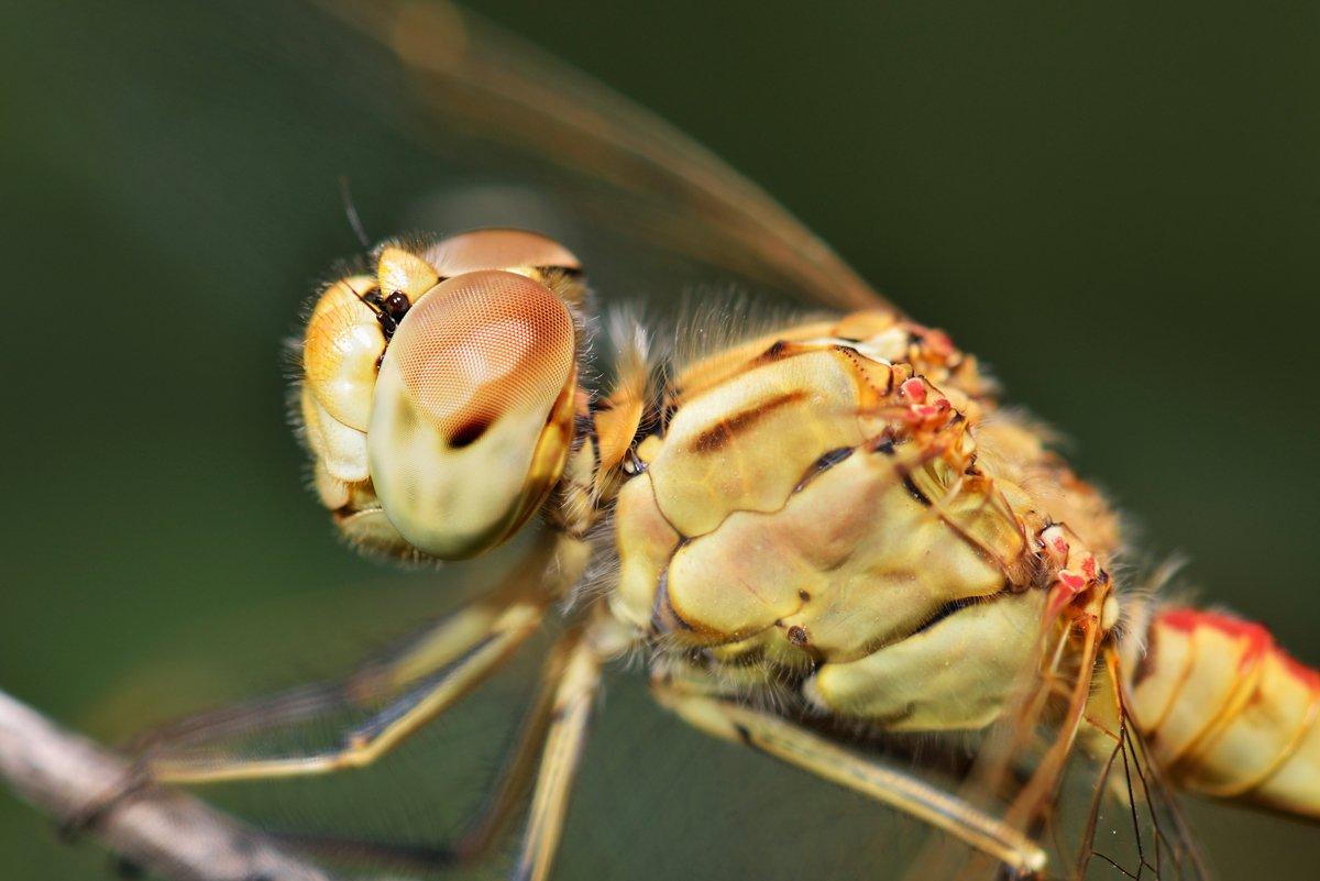 nikon, d7000, dragonfly, macro, close-up, nature, insect, odonata, стрекоза, макро, природа, насекомое, Эдуард