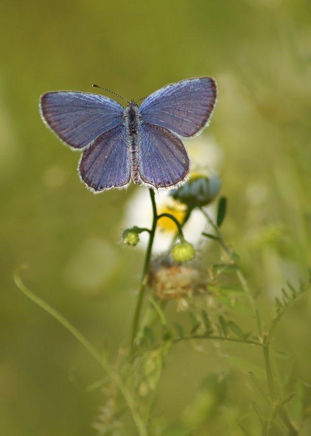 бабочка, голубянка, Cheplenko Aleksey