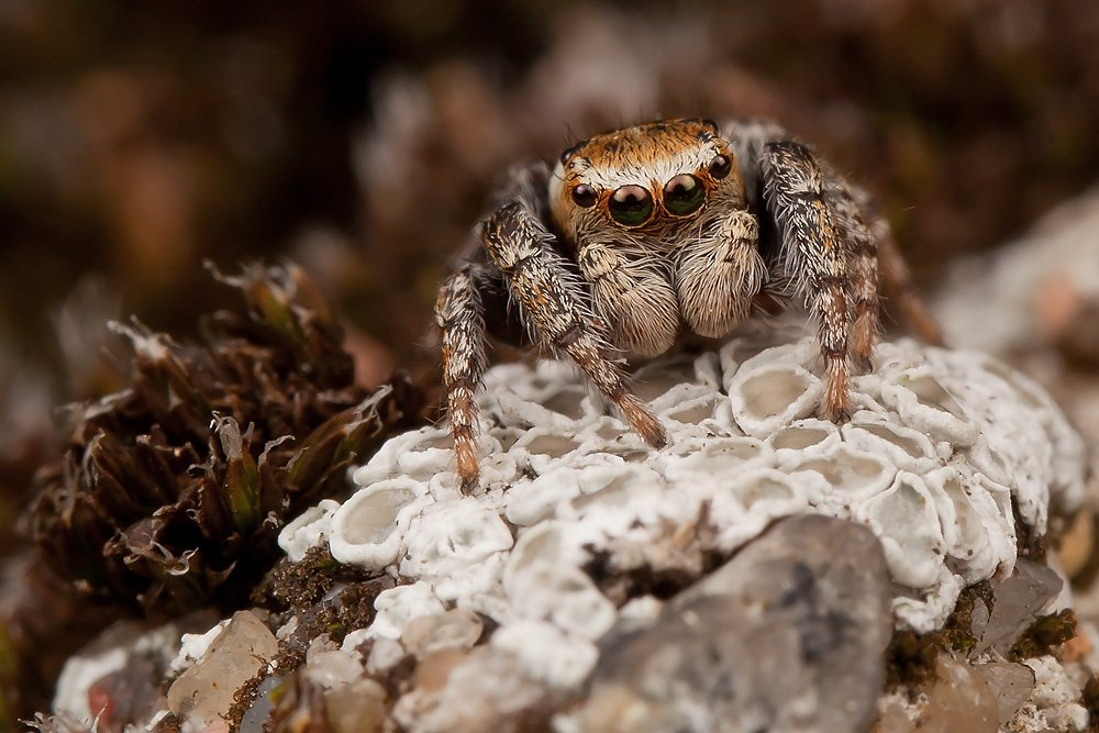jumping spider, паук, скакун, макро, Linas T