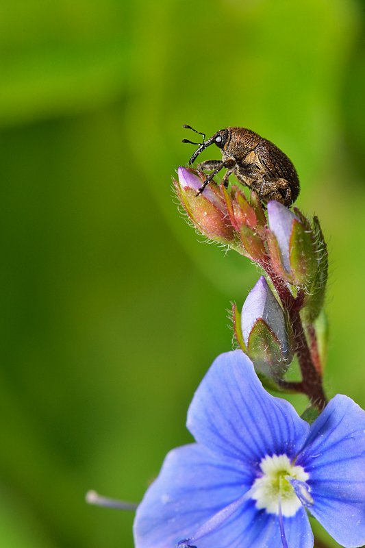 nikon, d7000, macro, close-up, nature, insect, insecta, coleoptera, curculionidae, weevil, слоник, долгоносик, макро, природа, насекомое, Эдуард