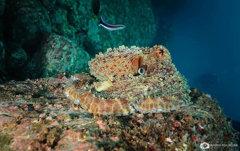 underwater, marine life, behavior, octopus, sri lanka, nadeika