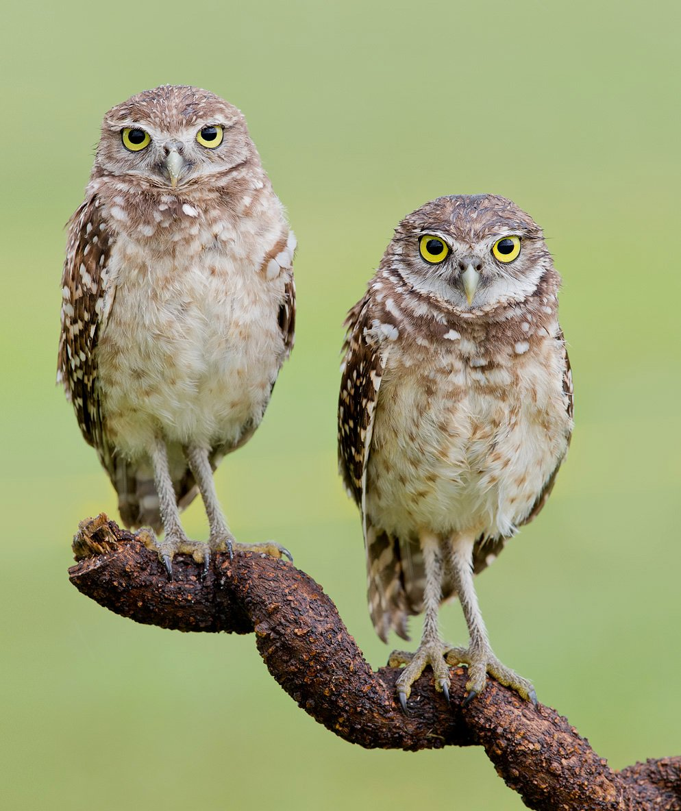 кроличий сыч, florida,burrowing owl, owl, флорида,сыч, Elizabeth E