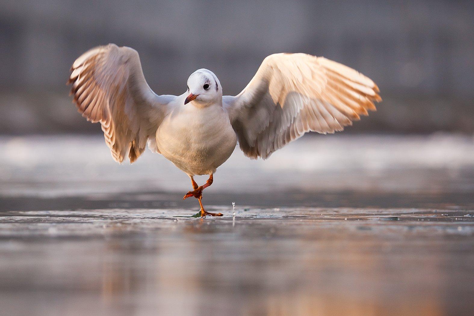 gull,winter,, Adamec Robert