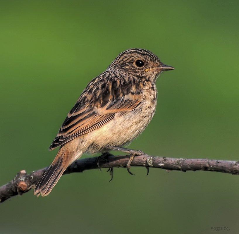 птица, птенец, черноголовый чекан, Ермолаев Андрей