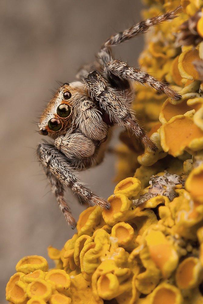 паук, скакун, лишайники, Linas T