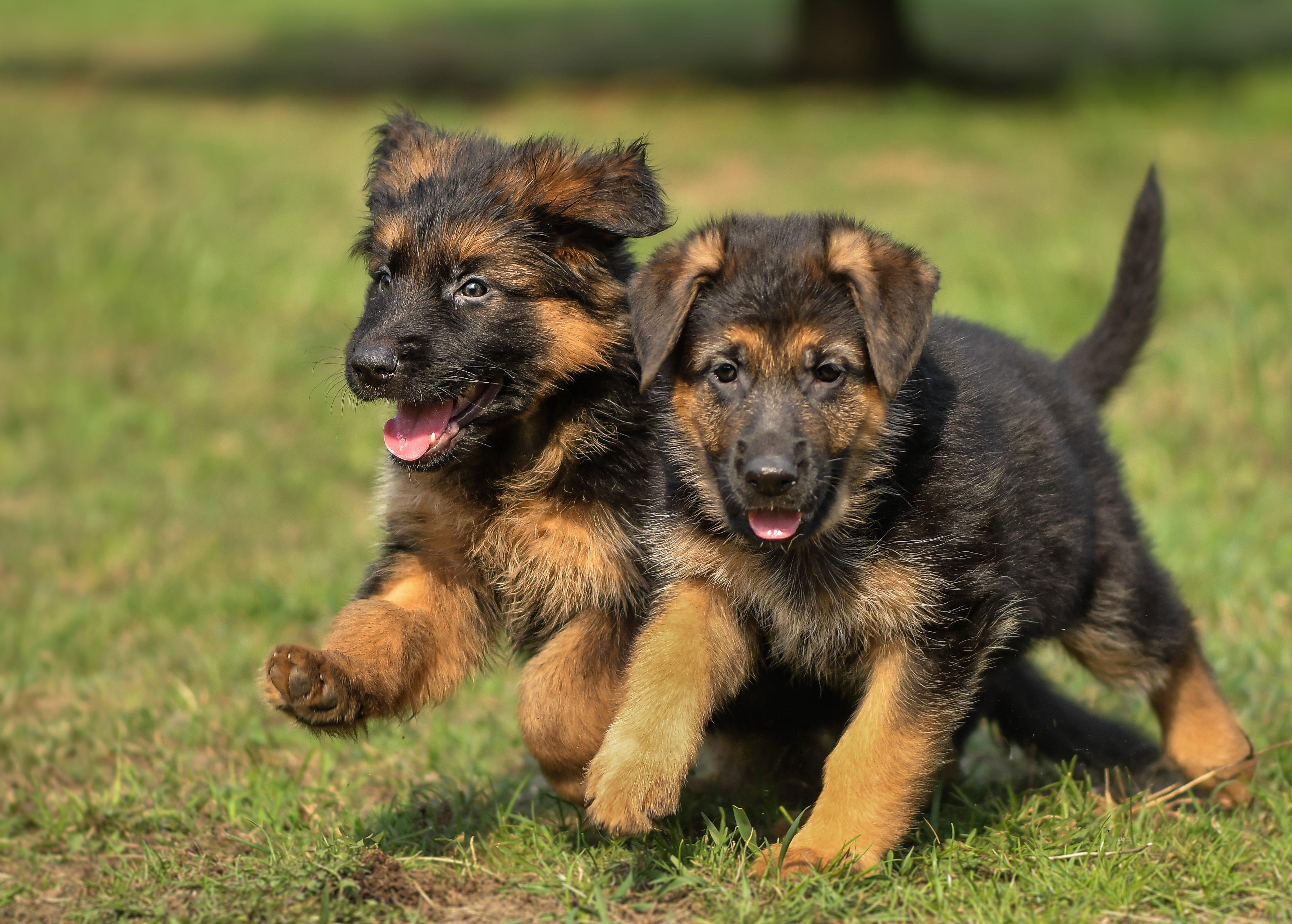 немецкая овчарка, щенки, бегущие собаки, весёлые щенята, Соварцева Ксения