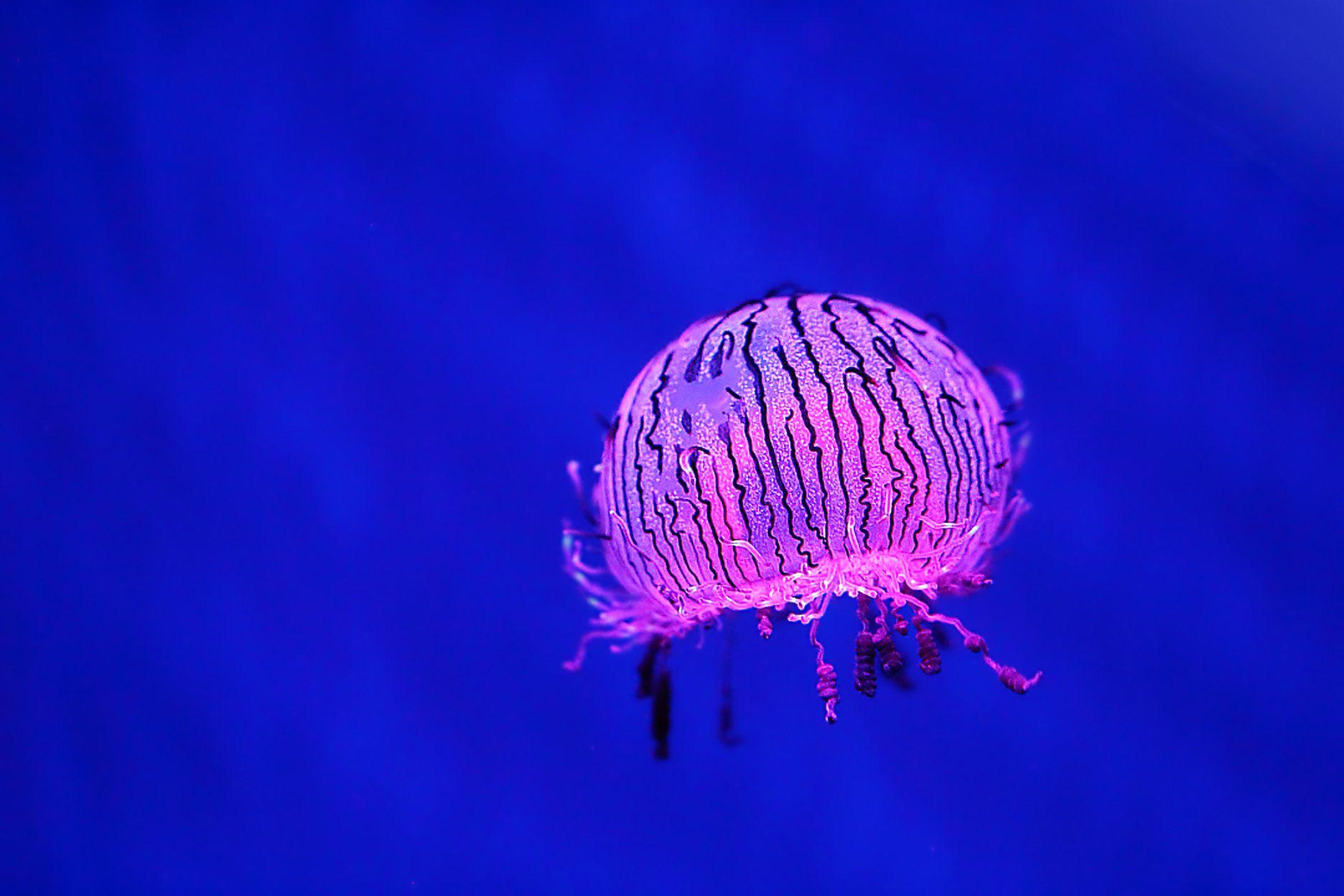 лимномедуза, медузы, гидроидные, стрекающие, underwater, jellyfish, olindiasidae, olindioides, hydrozoa, cnidaria, Салтыков Дмитрий