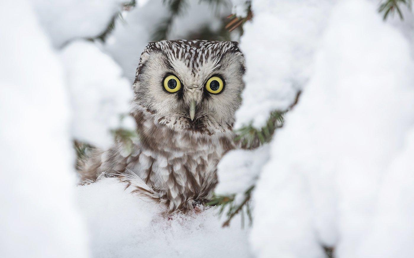 Портрет в снежной рамке. Сыч мохноногий. Dubinkin Victor