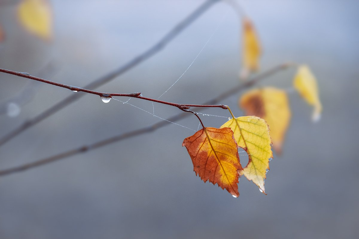 canon 55-250, beautiful, красивый, moment, момент, nature, природа, autumn, осень, осенние, leaves, листья, branch, ветка, birch, береза, droplets, капельки, капли, cobweb, паутинки, fog, туман,, Терентьева Наталья