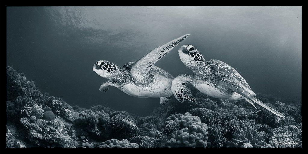 черепаха, риф,кораллы,море,синий,тон,близнецы,пара, Нарчук Андрей