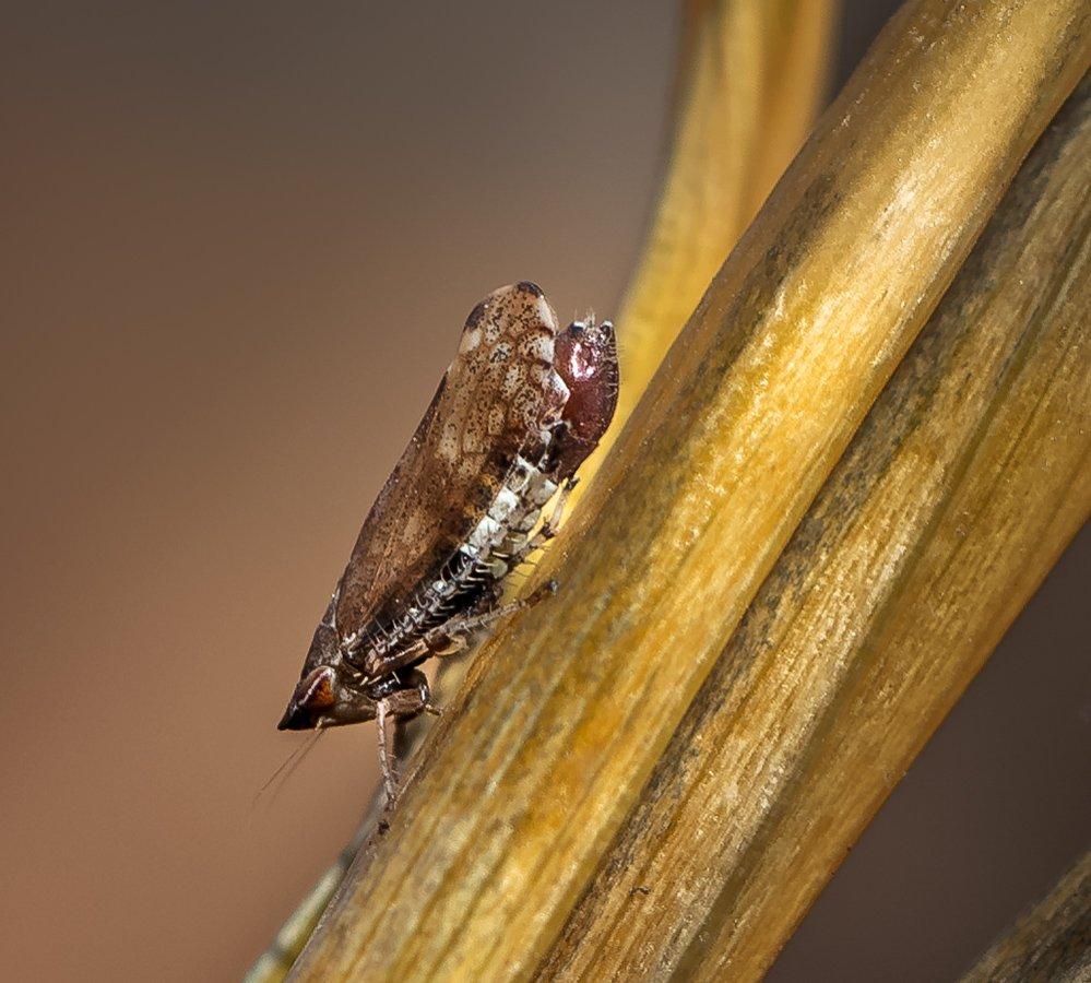 природа, макро, осень, насекомое, цикадка, Неля Рачкова