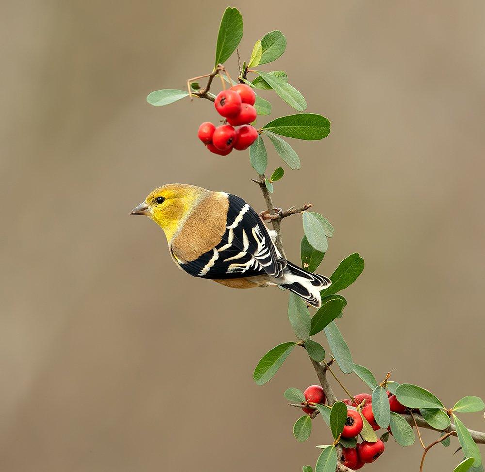 american goldfinch, американский чиж, чиж, Elizabeth E