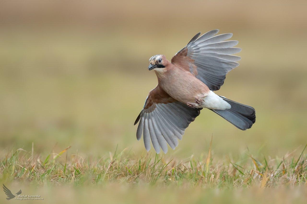 birds, nature, animals, wildlife, colors, meadow, winter, flight, wings,nikon, nikkor, lens, lubuskie, poland, Szozda Rafal