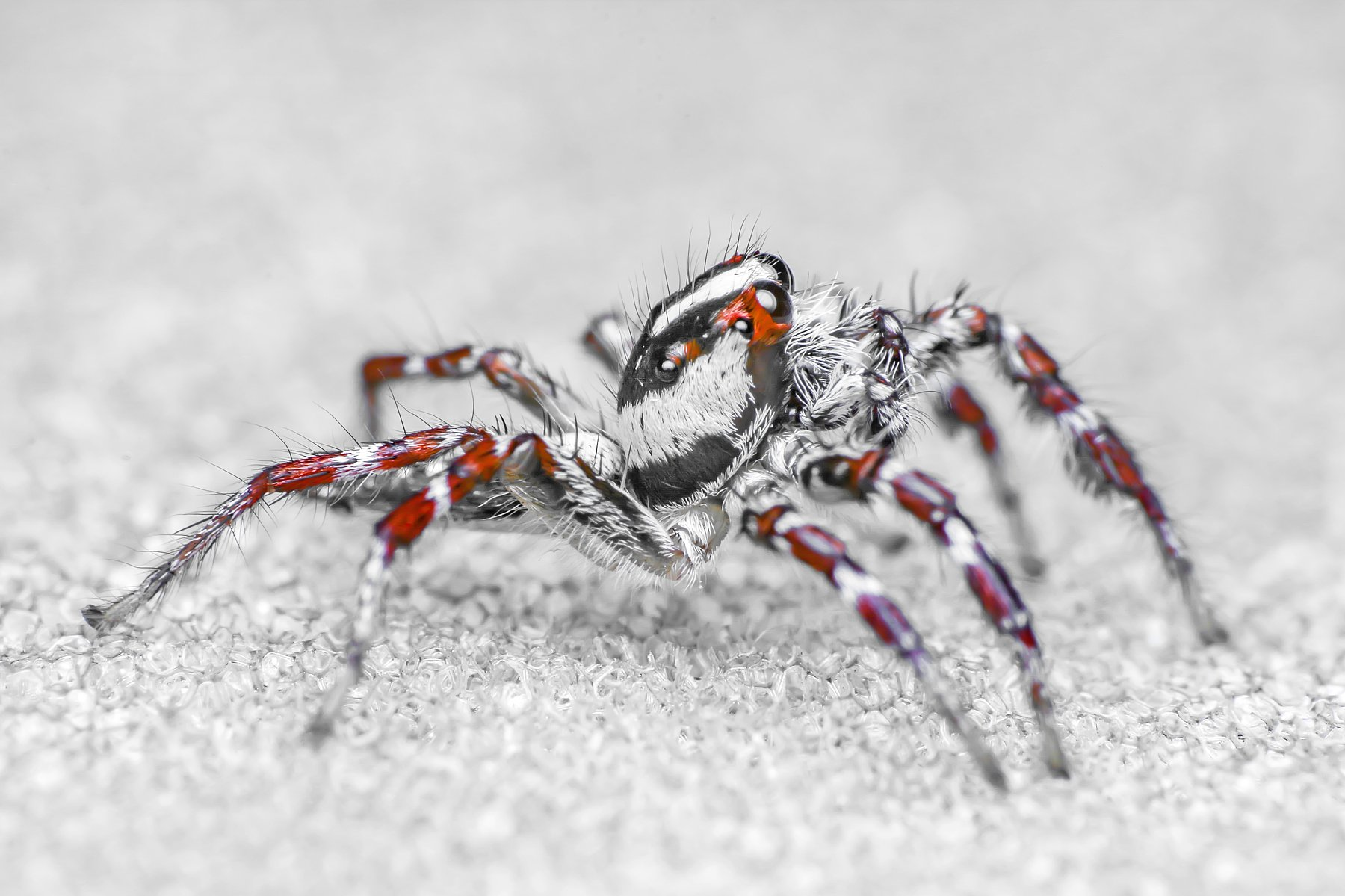 spider, insect animal, danger, dangerus, beatiful, beauty, tropical, eyes, small, macro, close up, jumpon leaf, park, outdoor, forest prey, wild, wildlife, snow, snowy, white, red, nature, natural, garden, ChonTin NeCoTi