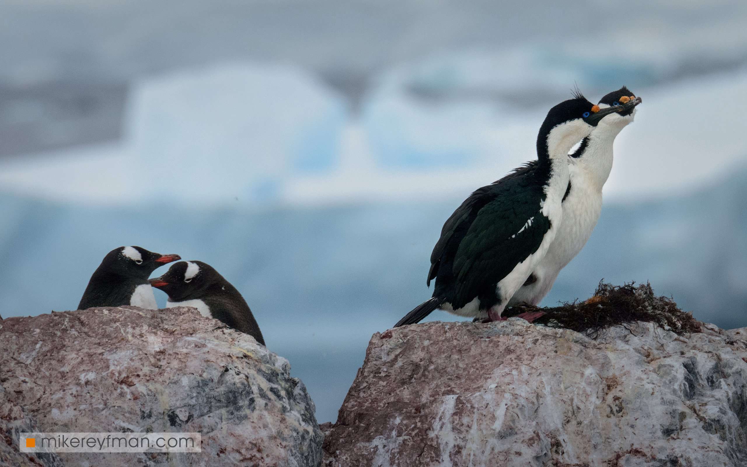cuverville island, blue-eyed shag, dramatic, polar climate, antarctic, antarctica, cold, romantic, extreme, gentoo penguin, chinstrap penguin, Майк Рейфман