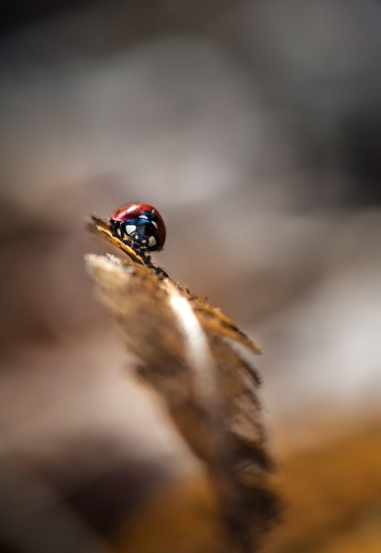 природа, макро, осень, насекомое, жук, божья коровка, растение, папоротник, Неля Рачкова
