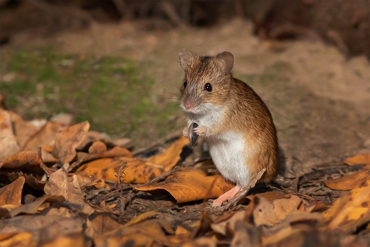 Наталия Сытина. Лесная мышка нашла семечку среди опавших листьев.