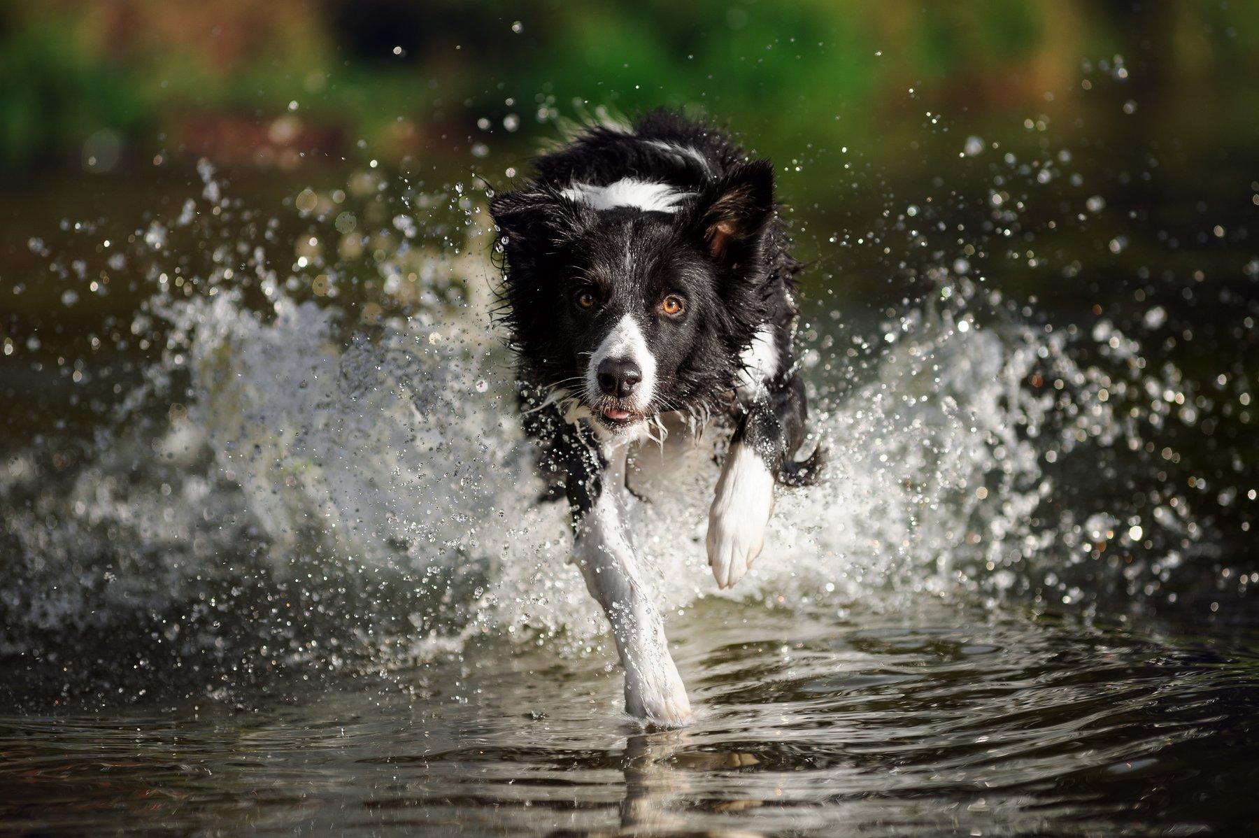 бордер колли, собака, бордер, бежит, питомец, движение, уши, пёс, любимец, вода, брызги, Титова Анна