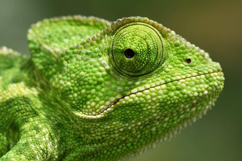 macro, nature, chameleon, mehmet