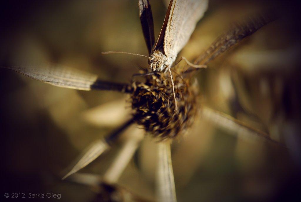 maniola jurtina, macro, butterfly, nature, art, serkiz oleg, олег серкиз, макро, Oleg Serkiz