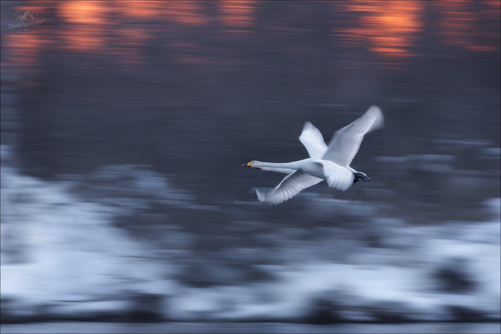 Алтай, Алтайский край, зима, озеро, Светлое, Лебединое, лебеди, Влад Соколовский