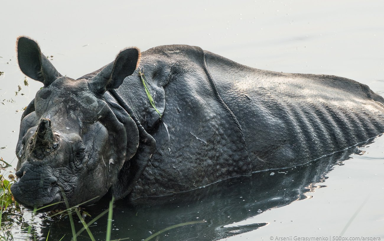 rhino, rhinoceros, asian, indian, national, park, india, horned, wildlife, wild, chitwan, one, nepal, safari, nature, horn, animal, big, large, mammal, animals, huge, black, grass, wilderness, dangerous, danger, asia, strong, conservation, reserve, jungle, Герасименко Арсений