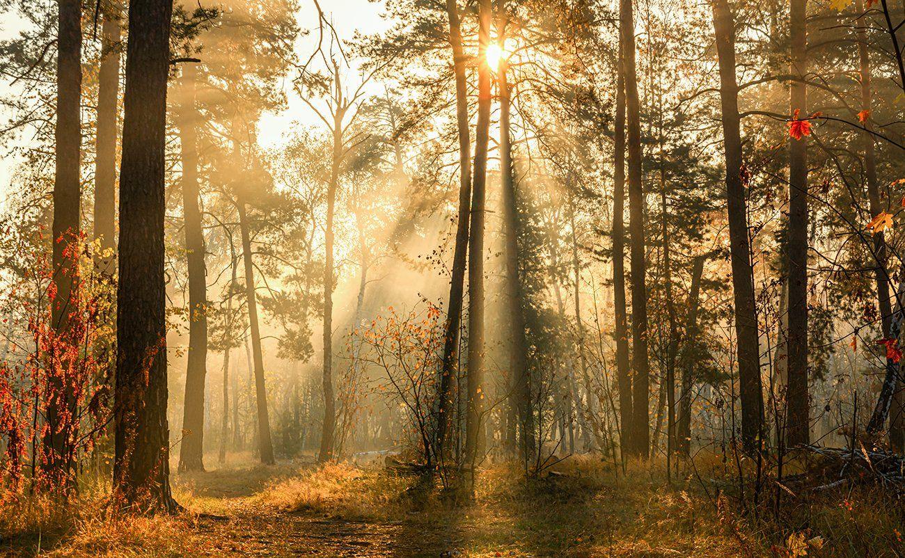 landscape, пейзаж, утро, лес,  деревья, солнечный свет,  солнце, природа, солнечные лучи,  прогулка,, Шерман Михаил