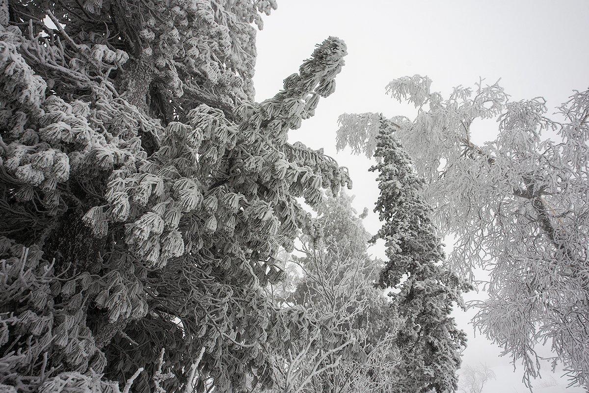 снег, иней, снежные узоры, мороз, кедры, берёзы, гора зелёная, зима, шерегеш, горная шория, сибирь, Валерий Пешков