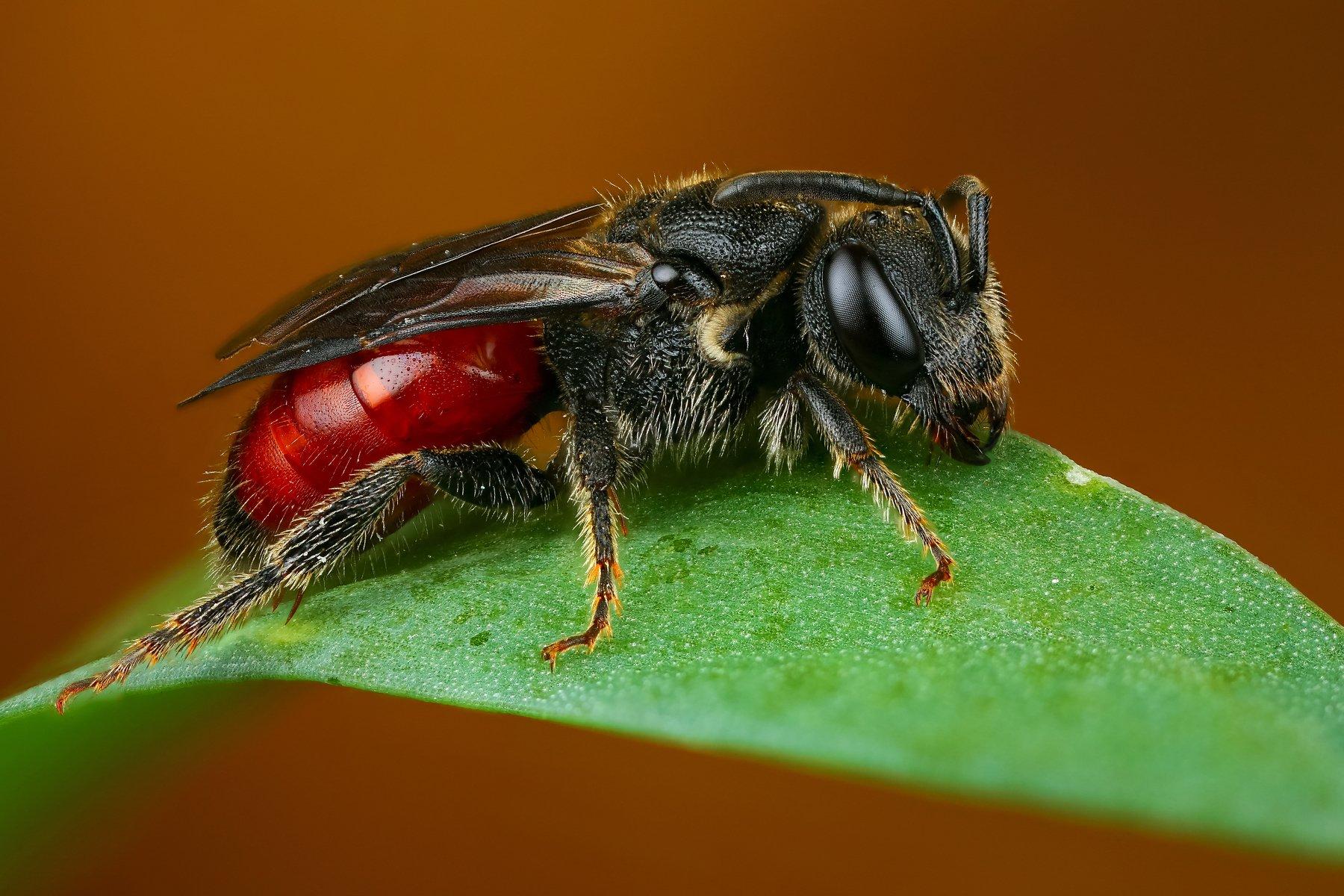 пчела макро природа трава цвет зеленый растение коричневый, Шаповалов Андрей