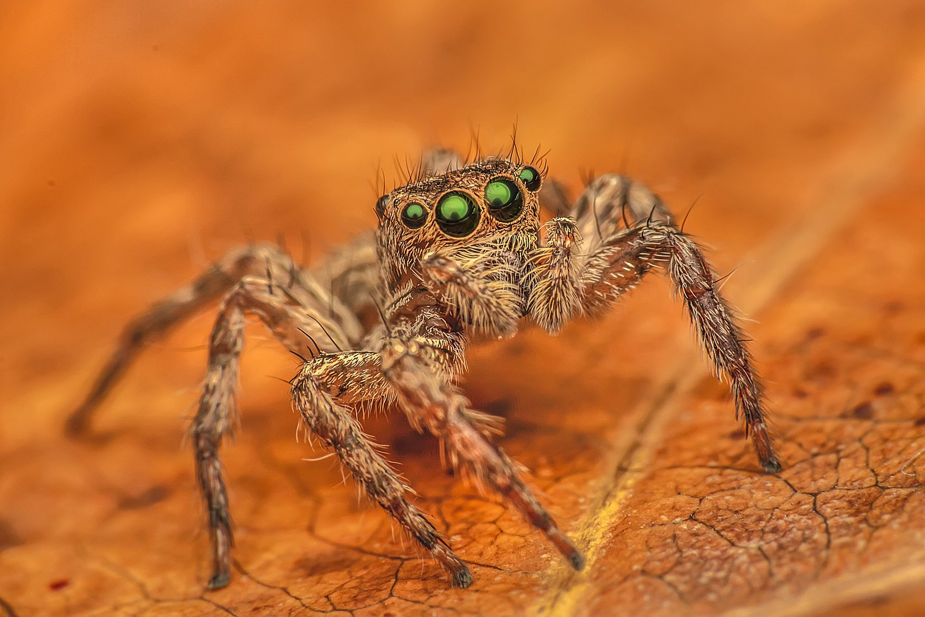 spider, insect animal, danger, dangerus, beatiful, beauty, tropical, eyes, small, macro, close up, jumpon leaf, park, outdoor, forest prey, wild, wildlife, white, red, nature, natural, garden, ChonTin NeCoTi