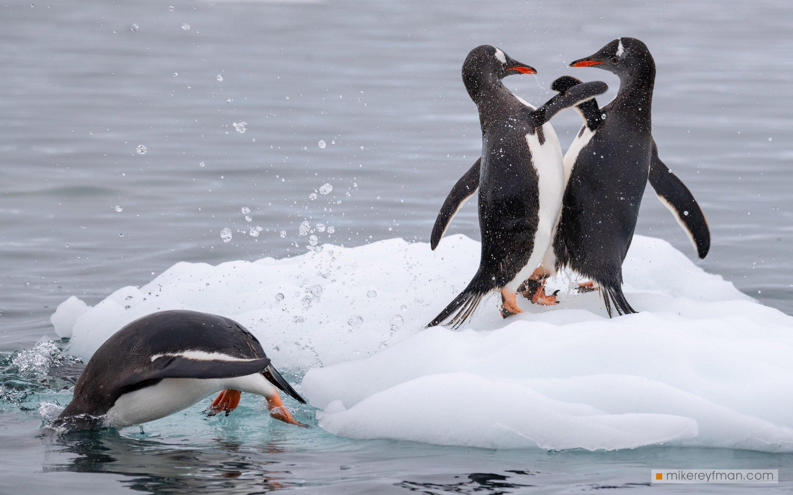 веселые пингвины, Майк Рейфман