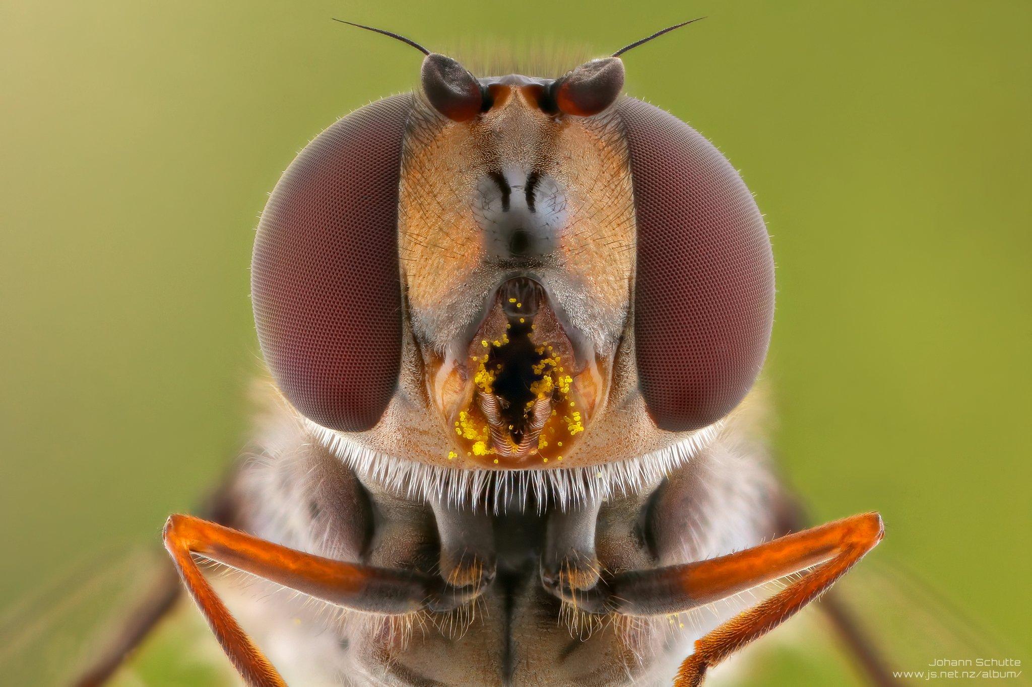 macro fly hoverfly johann schutte www.js.net.nz, Johann Schutte