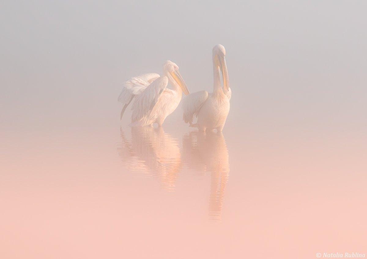 пеликаны,белые пеликаны,ангелы,птицы,животные,утро,туман,минимализм,умиротворение,природа, Рублина Наталья